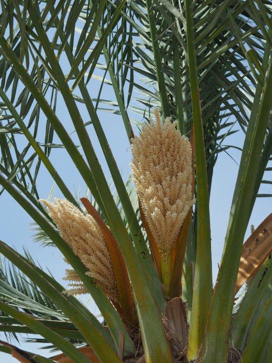 Photo De Voyage Organise A Oman N 20 Un Palmier Dattier En Fleurs